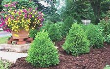 Green Mountain Boxwood - Live Plants - Quart Pots