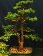i! PINOW TANNE !i hat helles, weiches Holzes - grün glänzende Nadeln Nadelbaum.