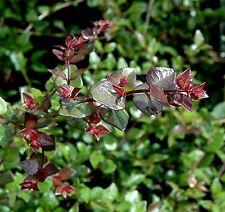 1x Lonicera Red Tips Hardy shrub bush Red Purple foliage hedge plant 1 litre pot