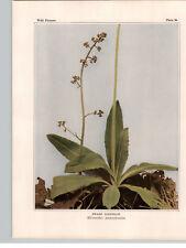 1934 Wildflower Book Plate Swamp Saxifrage & Grass-of-Parnassus