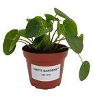 Hirt's Gardens Chinese Money Plant - Pilea peperomioides - 4