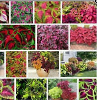 MIX kinds of flower promotion flowers 100 PCs flower coleus seeds beautiful flow
