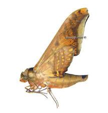 Unmounted Butterfly/Sphingidae - Adhemarius sexoculata, male, Bolivia