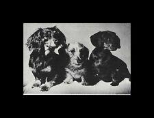 * Dachshund Pups - Dog Photo Print - 1964