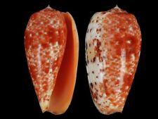 Conus bullatus - Shells from all over the World NEW!!!