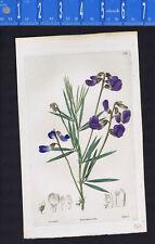 Blue-flowered platystylis, Platystylis cyanea. Hand-colered, 1828, Robert Sweet