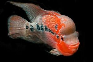 Flowerhorn Cichlid (Young Fish)