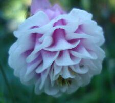 Hardy Perennial Aquilegia /'Hint of a Tint of Blue/' x50 fresh seeds