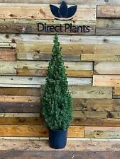 Picea Conica Glauca Alberta Spruce Real Christmas Tree 3.5-4ft Extra Large Tree