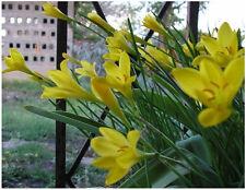 25 Zephyranthes Citrina Bulbs~Yellow Rain Lily !~Fairy lily~Amaryllis Relative
