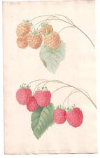 1820 Brookshaw Repository, Red and White Raspberry hand colured Botanical plate