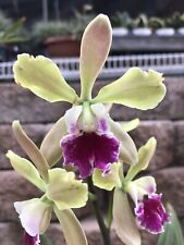 Epc. Serena's Tinkerbell 'Paradise' - Currently In Flowers. Sell As Display.