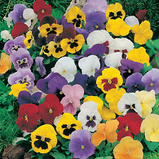 Pansy Crown Special Series Mixed 100 Seeds Hardy Perennial Winter Flower