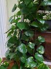 Potted Epipremnum (Devil's Ivy) Money Plant (2.5