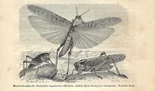 Stampa antica INSETTI CAVALLETTE LOCUSTE INSECTA 1891 Old antique print
