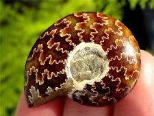 100% Natural Ammonite Fossil Specimen Shell Healing Madagascar