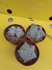 Special kit: 3 medium astrophytum coahuilense OWN ROOTS copiapoa aztekium CACTUS