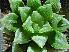 Haworthia cv. 'Hatsu-Yumedono', Gasteria, Aloe, Kaktus,Kakteen,Pflanze