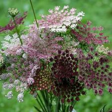 """Daucus carota """"Dara"""" (Queen Anne's  Lace) x 50 seeds Biennial."""
