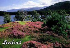 Scottish Heather : Calluna vulgaris : Loch an Eilean, Aviemore