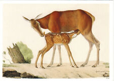 Red Deer Female Child illustration from Animals' Atlas of 1824 Russian postcard