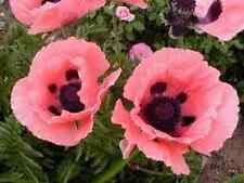 35+ Papaver Orientale Princess Victoria Louise Poppy Perennial Flower Seeds