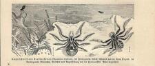 Stampa antica INSETTI RAGNO Thomisus viaticus INSECTA 1891 Old antique print