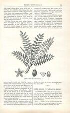Boswellia serrata Arbre à encens d'Inde oliban Plante GRAVURE OLD PRINT 1888