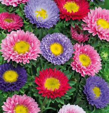 Aster Chinese Baroness mix Seeds 0,3g Annual flower ��тра Бароне��а S0295