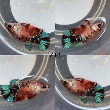 Betta Live Fish - Female Koi Galaxy HMPK - Please Read Description Before Buy