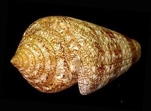 FS Conus (Cylinder) gloriamaris 130 mm
