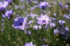 3 Catananche caerulea Cupid's Dart Purple Blue daisy flowers for Long Period