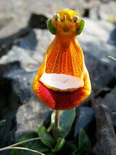 100pcs Happy Alien (Calceolaria Uniflora) Flower Seeds Plant Seed