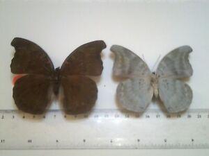 Real Insect/Butterfly/Moth Set Spread B7810 Rare Bassarona dunya x 2 Top & Verso