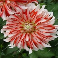 US-Seller Rare Beautiful Perennial Dahlia Flowers Seeds 20PCS(C#)