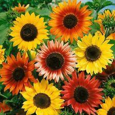 """Sunflower Autumn Beauty """"Helianthus Annuus"""" 50 Seeds"""