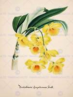 PAINTING BOOK PAGE ORCHID COLLECTION DENDROBIUM CHRYSOTOXUM ART PRINT HP1565