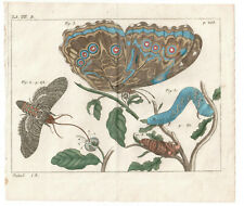 1774 Friedrich Martini Natural History plate 208 (2) Hand-coloured