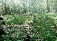 HAWAIIAN HAPU'U TREE FERN PLANT ~ GROW HAWAII