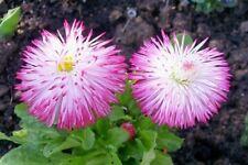 English Daisy Seed Habanera Mix Perennial Reds, Pinks, White