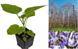 Paulownia Shan Tong Fortunei x Tomentosa Pflanzen 10-15cm Hybrid 9503 Pflanze