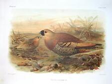 SAND GROUSE,MADAGASCAR KEULEMANS Antique Bird Print 1880