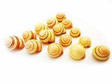 "24 Small Striped Yellow Land Snail Shells 3/4""-1"" Seashells Hermit Crabs Beach"