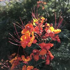 Red Bird of Paradise Plant Seeds Lot of 10 Caesalpinia pulcherrima Desert Shrub