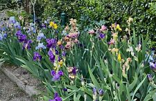 12  rizomi Iris Germanica  TB. Colori vari.