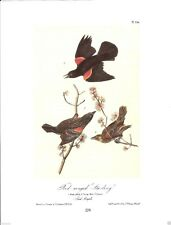 Red-Winged Starling Vintage Bird Print by John James Audubon