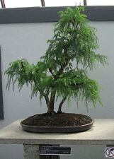 "100 JAPANESE RED CEDAR TREE SEEDS Cryptomeria Japonica ""Sugi"" BONSAI Evergreen"