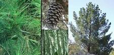 New listing Afghan Pine. 50 seeds. trees, seeds