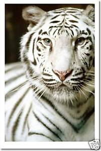 102096 Tigre Blanco White Tiger Photo Art Decor LAMINATED POSTER CA