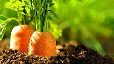 500 Graines de Carotte Nantaise BIO seeds plantes rare légumes potager ancien